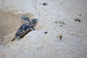 Sea Turtle Walk in Florida