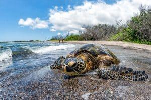 green turtle relaxing near sandy beach