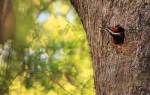 Male pileated woodpecker Naples Florida